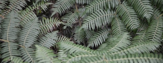 A lush forest floor of ferns