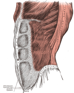 "A drawing of abdominal muscles. ""Gray392"" by Henry Vandyke Carter"